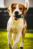 Brakhond met een bal op een groene weide tijdens de lente, de zomerlooppas naar camera met bal stock afbeelding