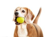 Brakhond met tennisbal in karbonades Royalty-vrije Stock Foto