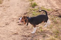 Brakpuppy, tong uit het plakken, looppas op het zand stock afbeelding