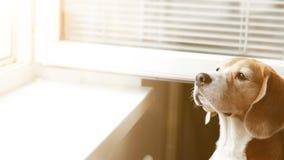 Brakrek uit aan het open venster die heerlijk iets ruiken stock video