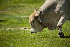 Brama bull grazing Stock Photos
