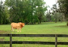 Brama bull in paddock Royalty Free Stock Image