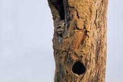 Brama manchado del Athene del mochuelo que se sienta en un hueco de un árbol en KE fotos de archivo libres de regalías