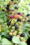 Bramble. Wild organic hedge row brambles / blackberries Stock Photography