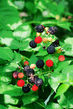 Bramble berries on a bush Stock Photos