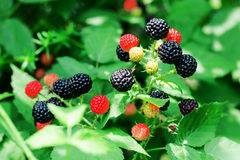 Bramble berries on a bush Royalty Free Stock Photography