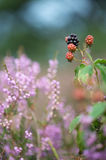 Bramble berries and heath Stock Photography