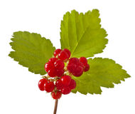 Bramble berry Stock Image