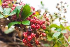 Bramble or brambleberry stock photos