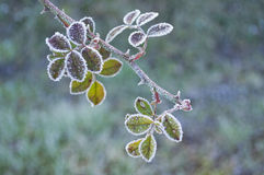 Bramble branch covered in frost. In a winter morning Stock Image