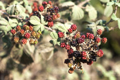 Bramble bush Stock Photography