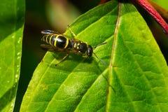 Free Bramble Mason Wasp - Ancistrocerus Adiabatus Stock Image - 156311641