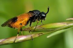 Bramble sawfly (cyanocrocea Arge) Στοκ Φωτογραφίες