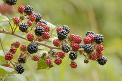 Bramble or Wild Blackberry Royalty Free Stock Photos