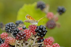 Bramble or Wild Blackberry Royalty Free Stock Image