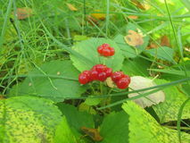 Brambleberries. Bramble berries grow in Iceland, usually from late september until oktober Stock Photography