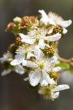 brambleberry开花未成熟的果子 库存照片