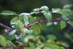 Brambleberry ακανθώδεις μίσχοι στοκ φωτογραφίες με δικαίωμα ελεύθερης χρήσης
