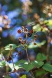 Brambleberry κλάδοι στοκ εικόνες