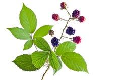 brambleberry φύλλωμα Στοκ Εικόνες