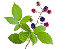Brambleberry foliage Stock Images