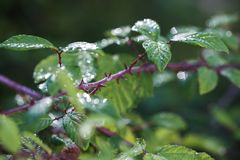 Brambleberry thorny stems. In the sun, after a rain storm Royalty Free Stock Photos
