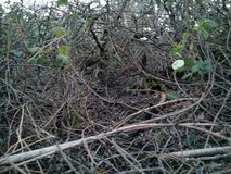 Brambles Royalty Free Stock Images
