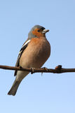 brambling птицы Стоковое Фото