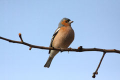 brambling птицы Стоковые Изображения