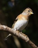 Brambling Stock Foto