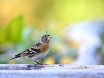 Brambling Royalty Free Stock Photo