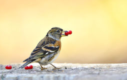 Brambling Royalty Free Stock Photography