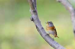 Brambling Stock Photography