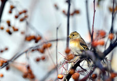 Brambling Photos stock