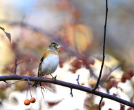 Brambling Royalty Free Stock Photos