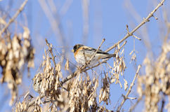 Brambling Stock Photos