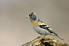 Brambling Royalty Free Stock Image