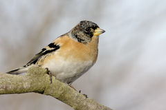 Brambling stock images