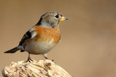 Brambling Stockfotos