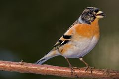 Brambling Photo stock