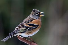 Brambling Stock Photo