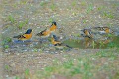 Brambling bathing. Many Brambling are drinking in puddle. Scientific name: Fringilla montifringilla stock photography