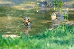 Brambling bathing. Two Brambling are bathing in puddle. Scientific name: Fringilla montifringilla stock photo
