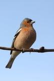 Brambling bird. A brambling bird on a tree stock photo