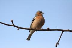 Brambling bird Stock Images