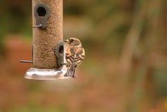Brambling on the bird feeder. Fringilla montifringilla or Brambling perched on the garden bird feeder filled with sunflower seeds stock image