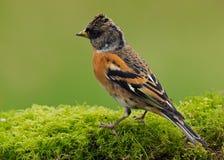 The Brambling bird (Fringilla montifringilla) Royalty Free Stock Image