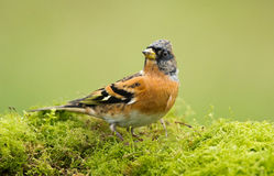 The Brambling bird (Fringilla montifringilla) Stock Photos