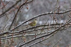 Brambling. On the branch of plum tree royalty free stock photos
