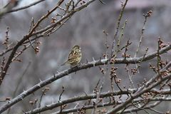 Brambling. On the branch of plum tree royalty free stock photography